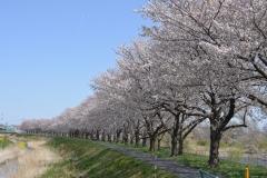 石田川土手沿いの桜